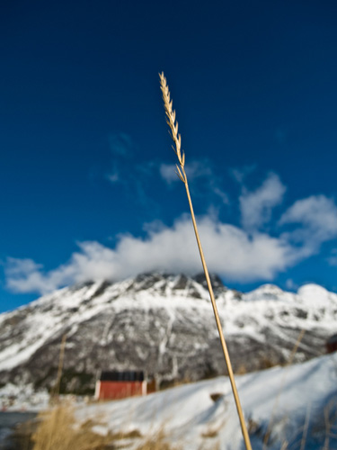 Picture of lonely straw and winter mountains in Northern Norway