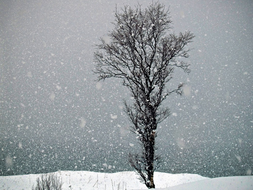 Picture of snow falling and a lonely tree in Northern Norway