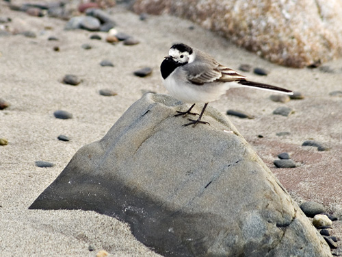 Photo of White Wagtail (Motacilla alba)