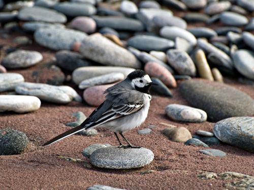 Picture of White Wagtail (Motacilla alba) bird on the beach
