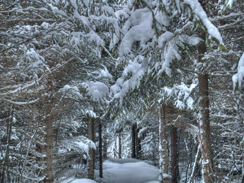 Photo of winter trees - Norway Spruce covered with snow