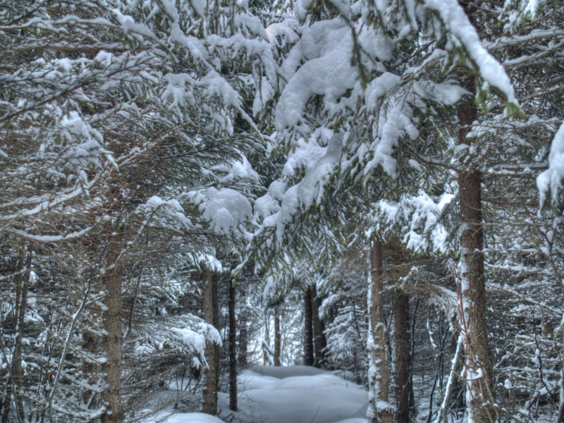 Photo of winter trees norway spruce covered with snow