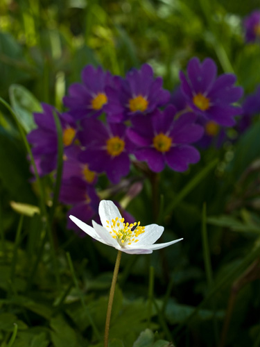 Picture of wood anemone (nemorosa flower) with purple primula flowers as background