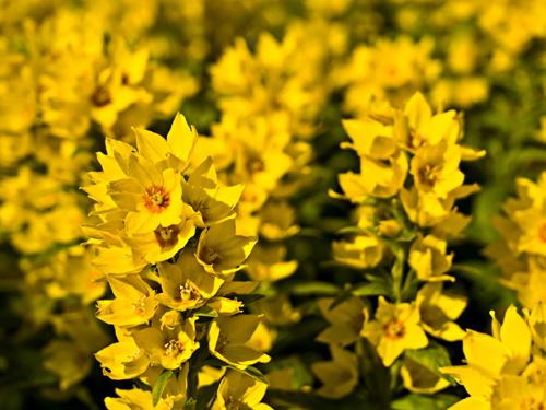 Macro photo of Yellow Loosestrife flowers - Lysimachia punctata