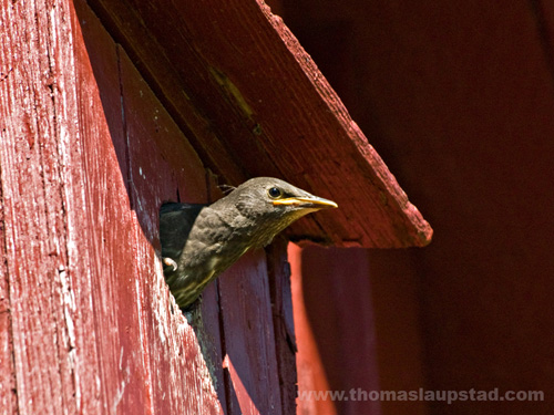 Picture of young European starling (Sturnus vulgaris) in birdhouse