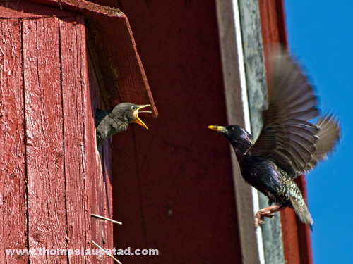 Picture of European starlings (Sturnus vulgaris) feeding their young with tongue out